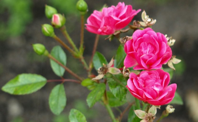 """""""Damasko rožės"""" linijos gaminiai"""